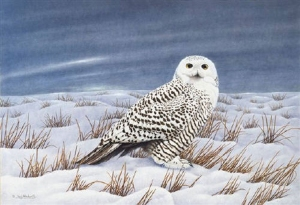 Queen of The Tundra Female Snowy Owl by Neil Blackwell